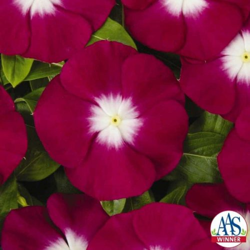 Vinca Pacifica Burgundy Halo - 2007 AAS Bedding Plant Award Winner 'Pacifica Burgundy Halo' is the first vinca with a burgundy halo surrounding a large white center.