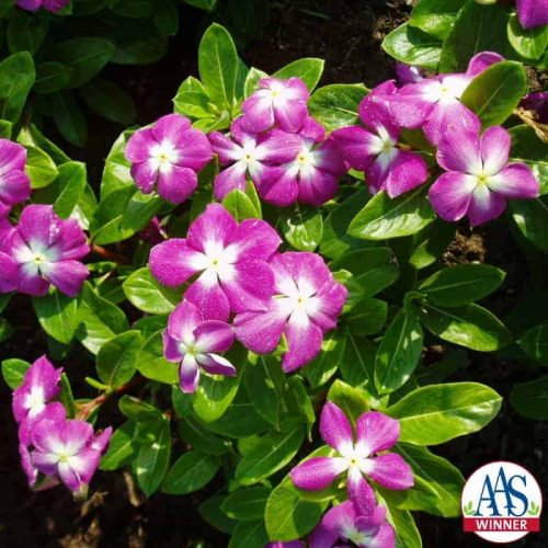 Vinca Stardust Orchid - 2000 AAS Bedding Plant Winner - The first Catharanthus roseus with orchid and white blooms.