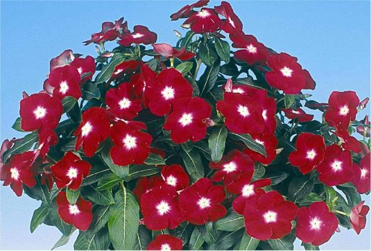 Vinca Jaio Dark Red - 2003 AAS Bedding Plant Winner - A really red vinca with a small white center sets this summer flowering vinca a part from all others.