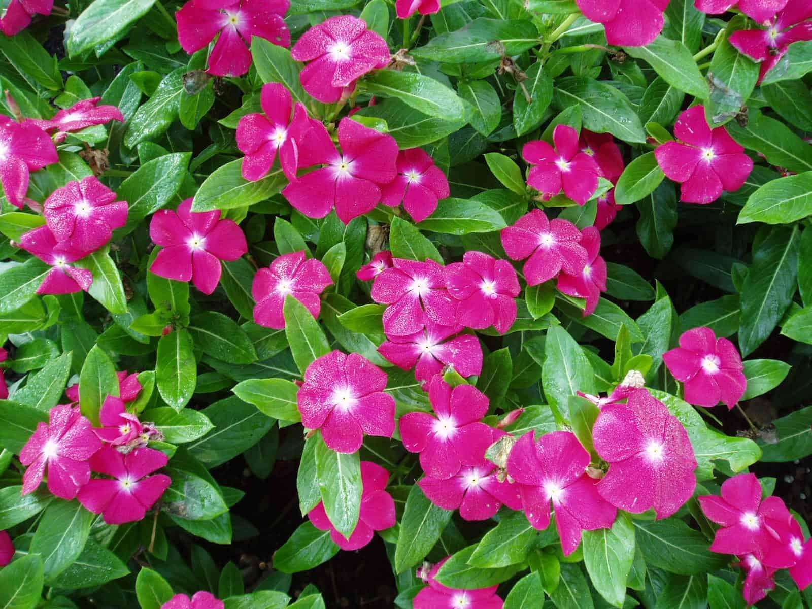 Cuidados de planta chabelita