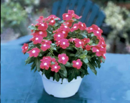 Vinca Jaio Scarlet Eye - 2002 AAS Bedding Plant Winner - Vinca or Catharanthus roseus 'Jaio Scarlet Eye' is a distinct rose-scarlet flower color with a small white eye.