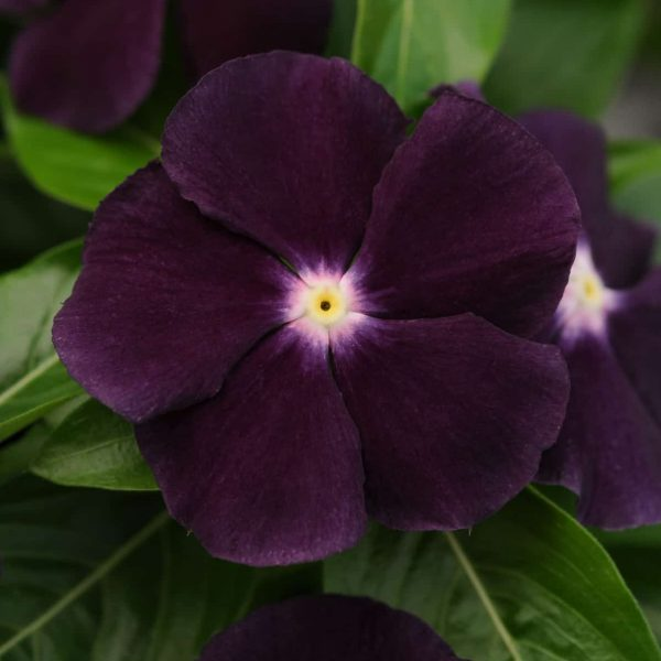 Vinca Jams 'N Jellies Blackberry 2012 AAS Flower Award Winner Extremely unique, velvety deep purple with white eye flower color will add excitement to summer gardens.