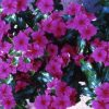 Vinca Pretty In Rose