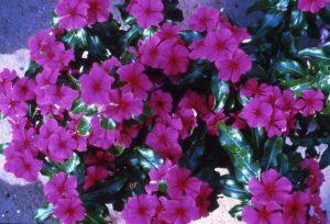 Vinca Pretty In Rose