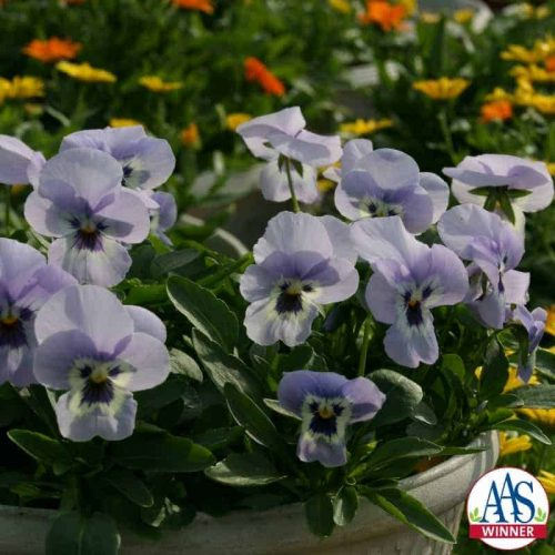 Viola Endurio Sky Blue Martien™ F1 2010 AAS Cool Season Bedding Plant Award Winner Unique spreading/mounding viola fills planters and garden beds quickly for maximum pot and landscape color impact.