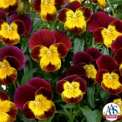 Viola Skippy XL Red-Gold F1 - 2006 AAS Cool Season Bedding Plant Winner Skippy XL Red-Gold is the first Viola cornuta to earn the prestigious AAS Award.
