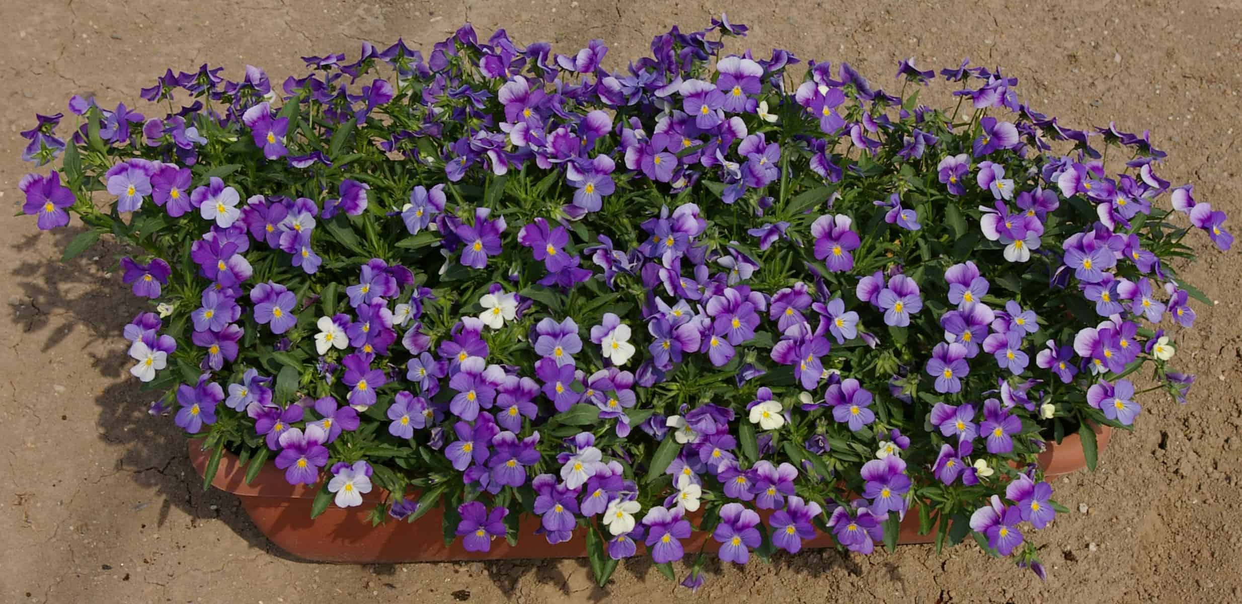 Viola Rain Blue And Purple F1 All America Selections