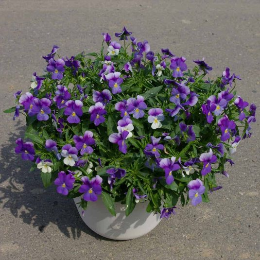 Viola Rain Blue and Purple F1 - 2009 AAS Cool Season Bedding Plant Award Winner This variety creates a spreading pool of cool blue colors.