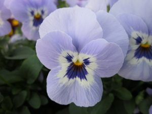 Viola Shangri-La Marina F1 2011 AAS Cool Season Bedding Plant Award Winner This winning Viola cornuta is an early-flowering, mounding viola in a vibrant new color for this type. In trials, the 6-inch tall plants kept a low-growing mounding habit.