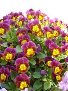Viola Skippy XL Red-Gold F1 - 2006 AAS Cool Season Bedding Plant Winner Skippy XL Red-Gold is the first Viola cornuta to earn the prestigious AAS Award.
