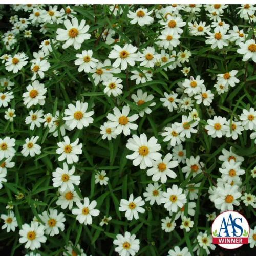 Zinnia Crystal White - 1997 AAS Bedding Plant Winner - Pure white, single daisy like blooms cover this low growing plant all season.