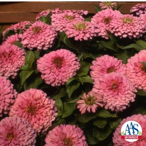 Zinnia Fantastic Light Pink