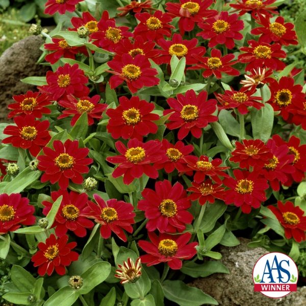 Zinnia Profusion Cherry (Gold Medal) - 1999 AAS Flower Winner - Single cherry rose blooms are borne just above the dark green foliage.