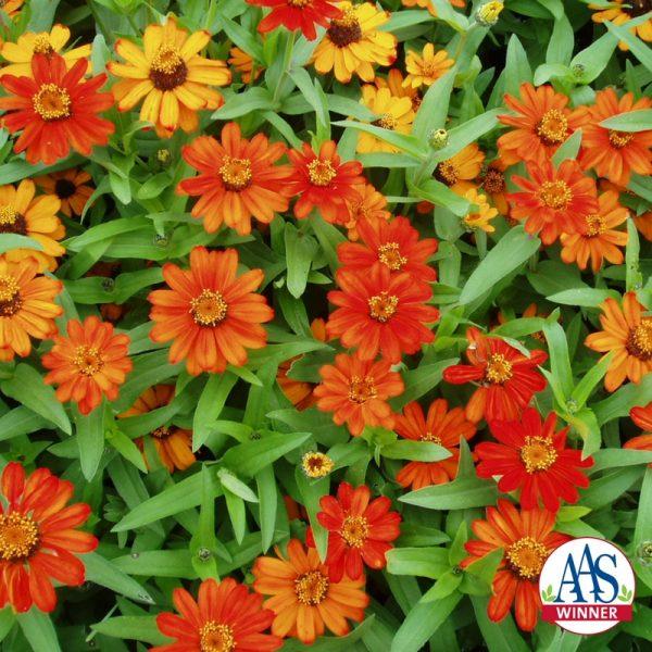 Zinnia Profusion Orange (Gold Medal) - 1999 AAS Flower Winner - Single orange blossoms are borne on these plants.