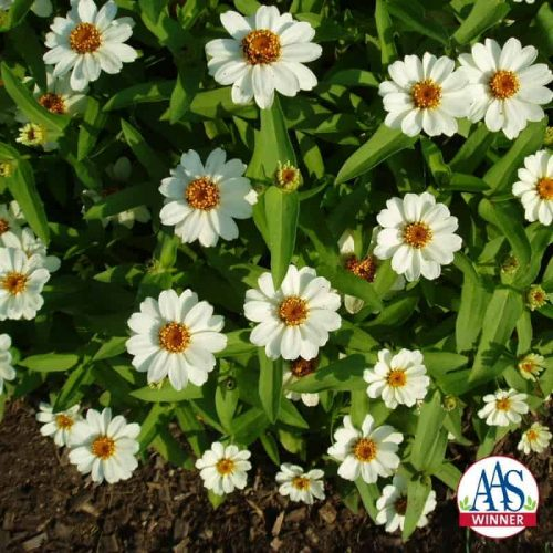 Zinnia Profusion White (Gold Medal) - 2001 AAS FlowerWinner Profusion White captured the AAS Gold Medal as a breeding breakthrough due to the ease of growing and length of the flowering season.