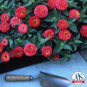 Zinnia Small World Cherry