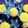 Zinnia Yellow Marvel