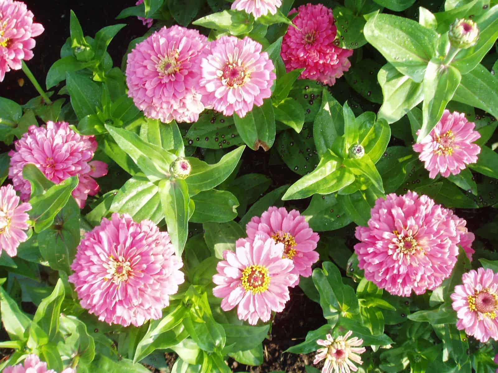 Zinnia Border Beauty Rose All America Selections