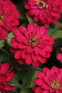 Zinnia Double Zahara Cherry - 2010 AAS Bedding Plant Award Winner This AAS Winner has fully double large cherry red flowers that bloom abundantly from early summer into fall.