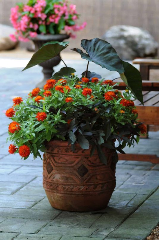 Zinnia Double Zahara Fire - 2010 AAS Bedding Plant Award Winner This AAS Winner has fully double large brilliant orange fade resistant flowers that bloom abundantly from early summer into fall.