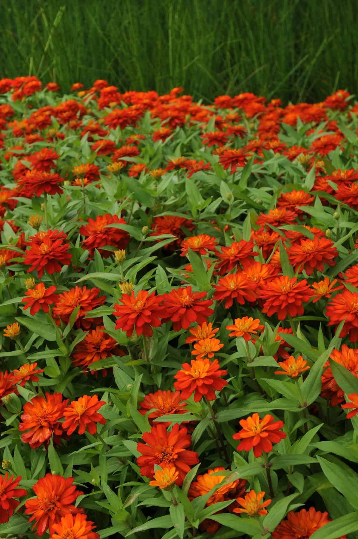 Zinnia Double Zahara Fire All America Selections