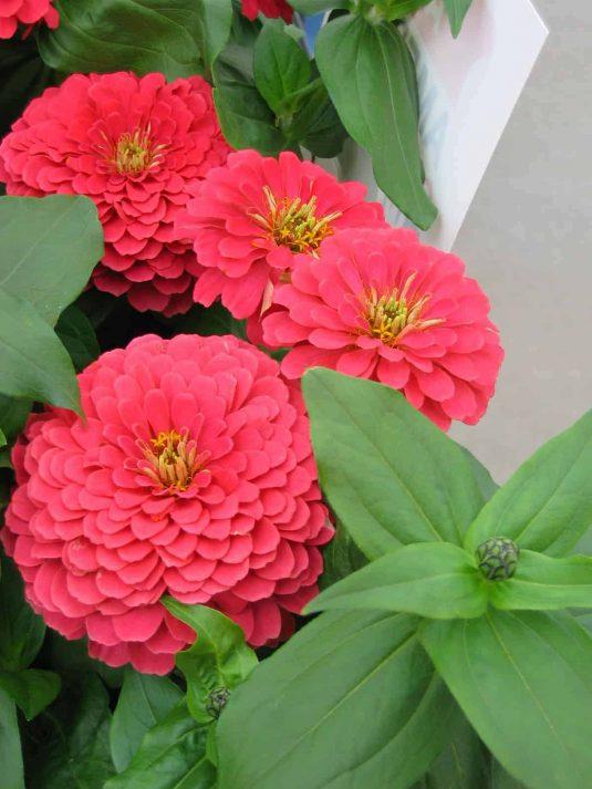 Zinnia Magellan Coral F1- 2005 AAS Flower Winner - Magellan Coral blooms are radiant.