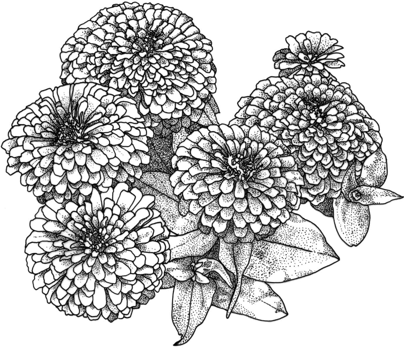 циния цветок рисунок боярышник