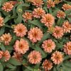 Zinnia Profusion Double Deep Salmon 2013 AAS Bedding Plant Award Winner 'Profusion Double Deep Salmon' features intensely vibrant, deep pink-orange flowers with double petals.