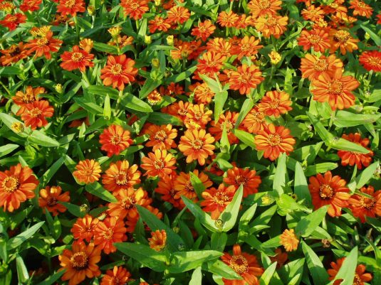 Zinnia Profusion Orange (Gold Medal) - 1999 AAS Flower Winner - Single orange blossoms are borne on these plants.