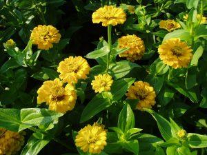 Zinnia Yellow Marvel