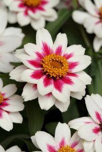 Zinnia Zahara Starlight Rose 2010 AAS Bedding Plant Award Winner Stunning white flowers with rose stripes are a new bicolor for zinnias.