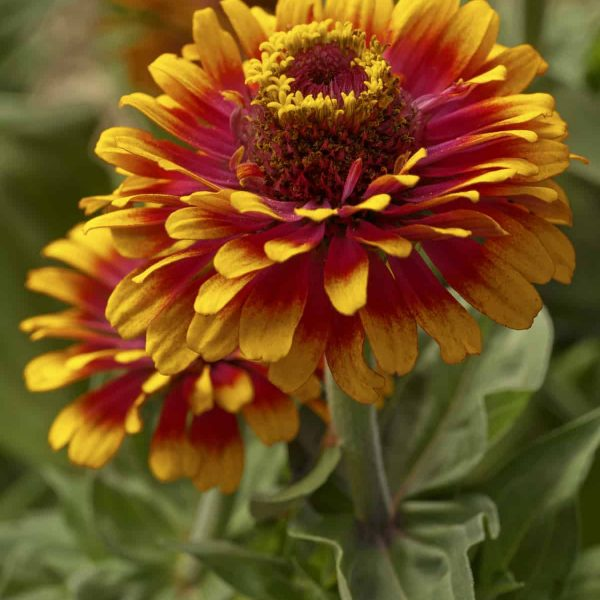Zinnia Zowie! Yellow Flame F1 - 2006 AAS Flower Winner Zowie! Yellow Flame is the first semi-tall zinnia with a unique bi-color pattern.