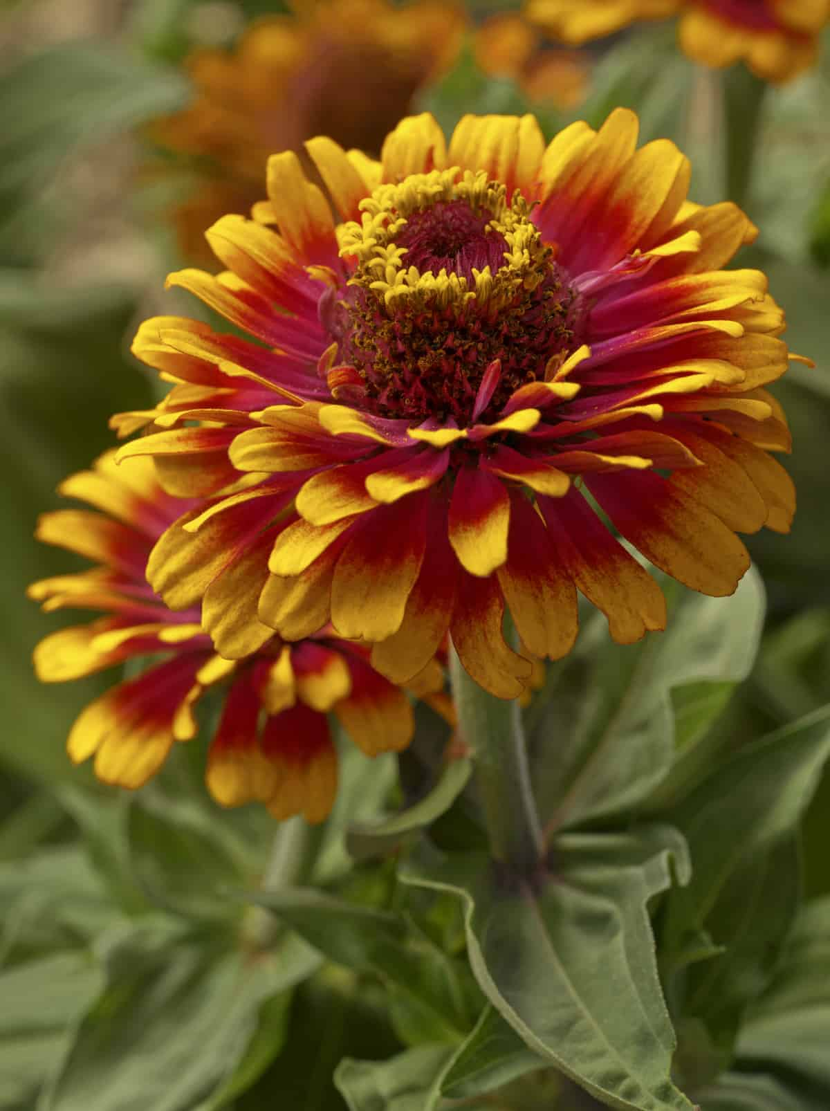 Zinnia Zowie Yellow Flame F1 All America Selections