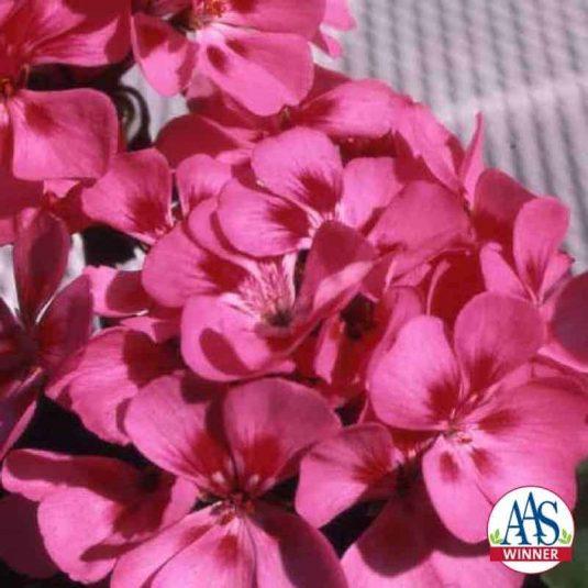 Geranium Freckles