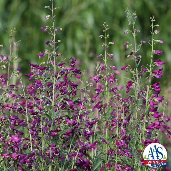 Penstemon barbatus Twizzle Purple F1 - 2017 AAS Ornamental from Seed Winner Regional Winner – Heartland and Southeast