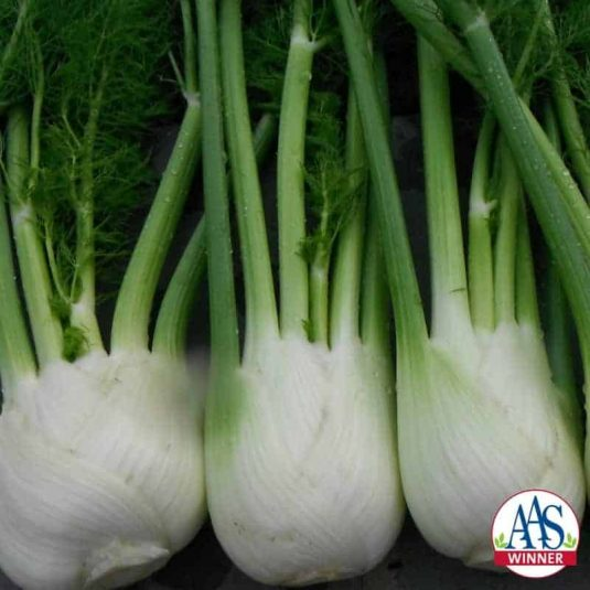 Fennel Antares F1 - 2017 AAS Edible - Vegetable Winner What is extremely fun about this winning plant is its many uses: as an edible bulb; for its ornamental fronds; as a seed producer; and as a favorite food of pollinators, namely swallowtail caterpillars.