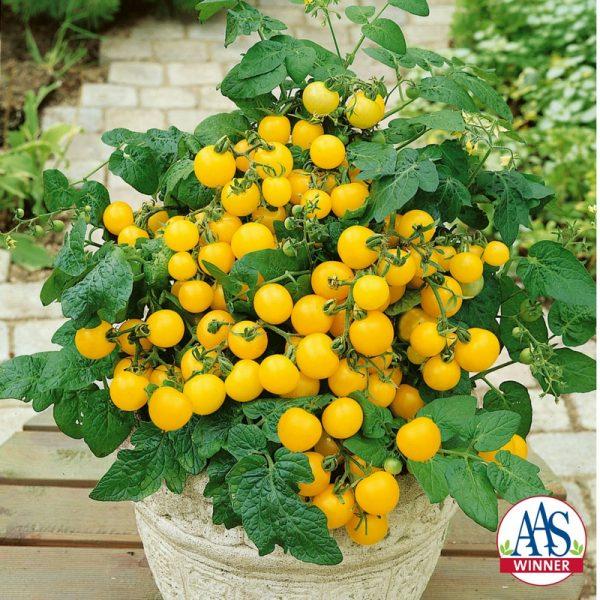 Tomato Patio Choice Yellow F1 - 2017 AAS Edible - Vegetable Winner