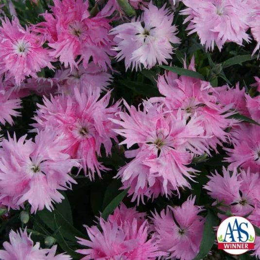 Dianthus Interspecific Supra Pink F1 - 2017 AAS National Winner - This compact, bushy plant blooms prolifically with novel mottled pink flowers sporting frilly petal edges that hold up even in summer heat and drought.