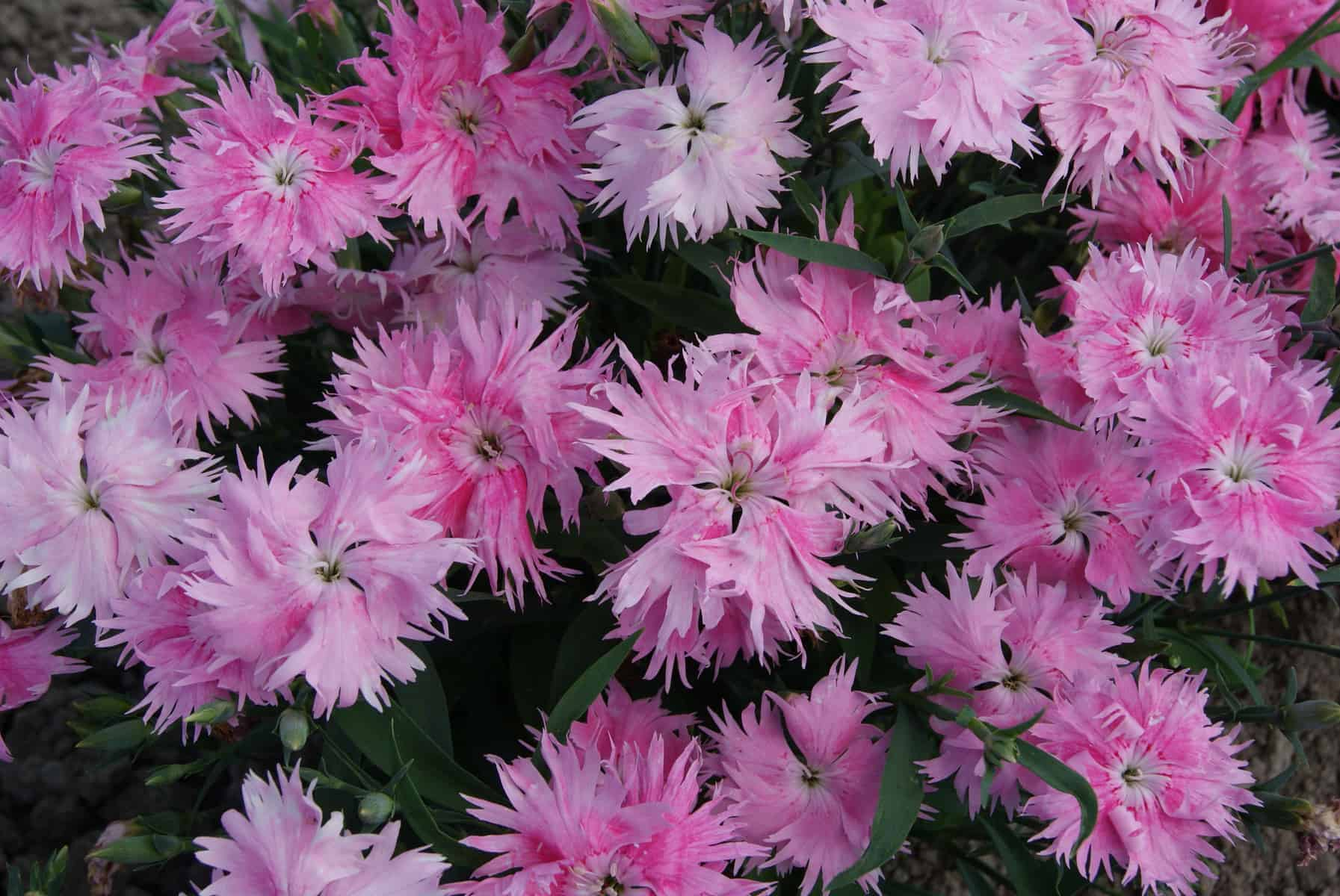 Dianthus Interspecific Supra Pink F1 All America Selections