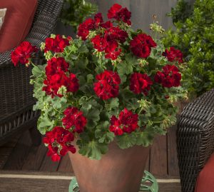 Geranium Calliope® Medium Dark Red - 2017 AAS Ornamental Vegetative Winner