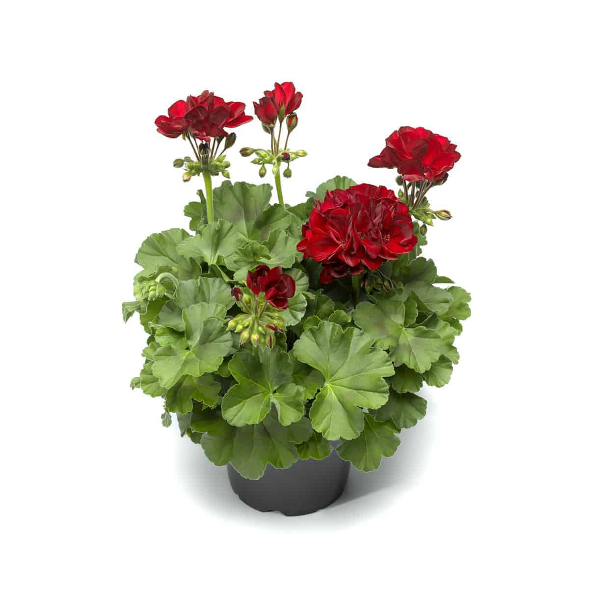 Picture of Live Geraniums Zonal Red aka Pelargonium hortorum Plant Fit 1GAL Pot