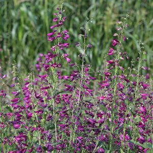 Penstemon barbatus Twizzle Purple F1 - 2017 AAS Ornamental from Seed Winner Regional Winner – Heartland and Southeast
