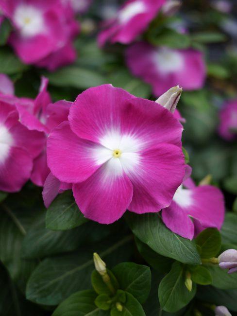 Vinca Mega Bloom Orchid Halo F1 - 2017 Flower Winner