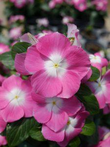 Vinca Mega Bloom Pink Halo F1 - 2017 AAS Flower Winner