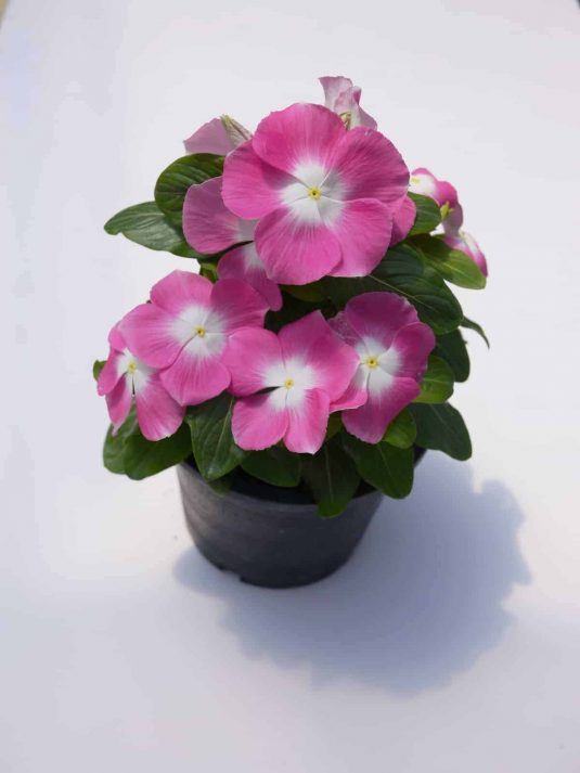 Vinca Mega Bloom Pink Halo F1 - 2017 AAS Flower Winner