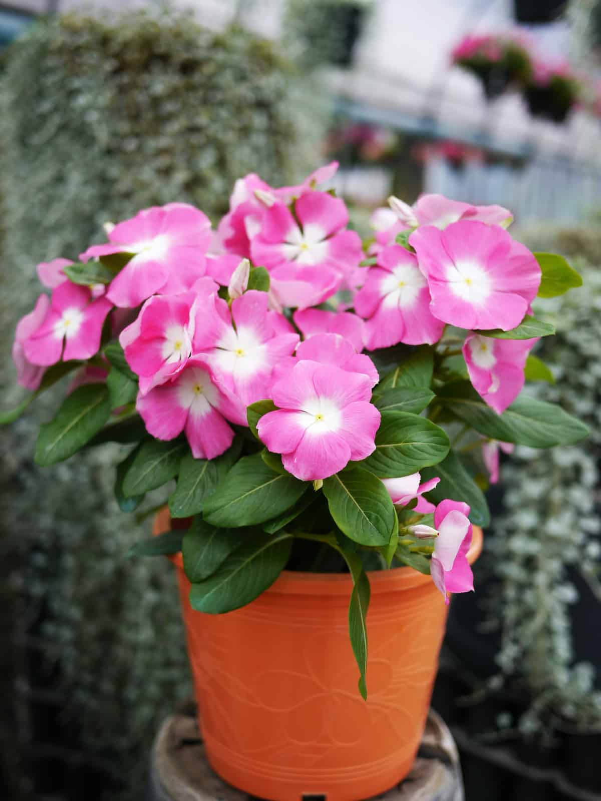 Vinca Mega Bloom Pink Halo F1 All America Selections