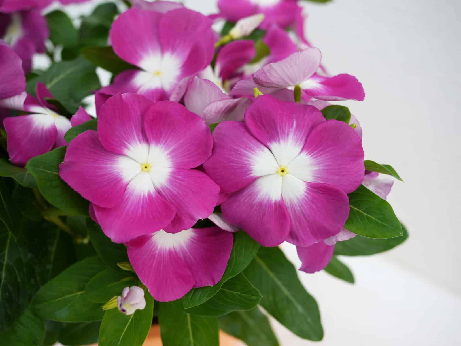 Vinca Mega Bloom Orchid Halo F1 All America Selections