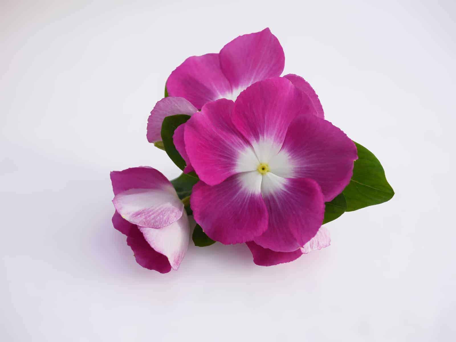 Vinca Mega Bloom Orchid Halo F1 All America Selections