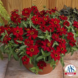 Zinnia Profusion Red 2017 AAS Flower Winner