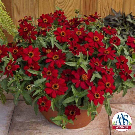 Zinnia Profusion Red 2017 AAS Flower Winner